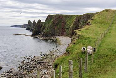 Sheep On A Ridge With Sea Stacks And Cliffs Along The Coastline, Duncansby Head, John O' Groats, Scotland