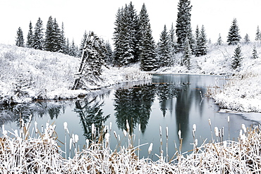 An Open Pond In The Winter With Snow Covered Hilly Banks, Evergreen Trees And Bulrushes, Calgary, Alberta, Canada