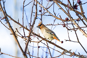 Close Up Of A Cedar Waxwing (Bombycilla Cedrorum) Bird On A Bare Branch Of A Crab Apple Tree With Blue Sky In The Background, Calgary, Alberta, Canada