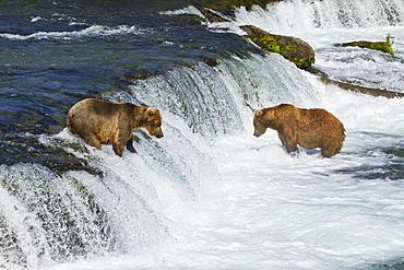 Brown Bears (Ursus Arctos) Fishing For Sockeye Salmon At Brooks Falls, Brooks River, Katmai National Park And Preserve, Southwest Alaska