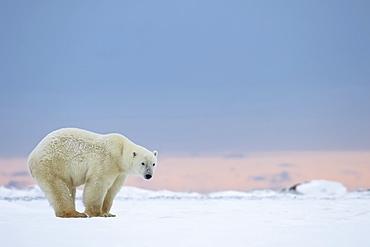 Polar Bear (Ursus Maritimus) Standing On The Snow At Sunrise, Churchill, Manitoba, Canada