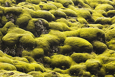 Moss Covered Lava, Iceland
