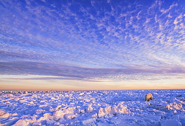 Polar Bear (Ursus Maritimus) Along The Hudson Bay Coast At Sunset Waiting For The Bay To Freeze Over, Churchill, Manitoba, Canada