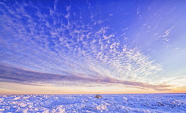 Polar Bear (Ursus Maritimus) Along The Hudson Bay Coast At Sunset Waiting For The Bay To Freeze Over, Churchill, Manitoba, Canada