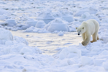 Polar Bear (Ursus Maritimus) Along The Hudson Bay Coast Waiting For The Bay To Freeze Over, Manitoba, Canada