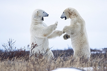 Polar Bears Sparring On The Coast Of Hudson Bay, Manitoba, Canada
