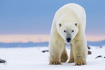 Polar Bear (Ursus Maritimus) Along The Hudson Bay Coastline Waiting For The Bay To Freeze Over, Churchill, Manitoba, Canada