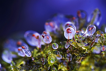Ice On Moss, Vaudreuil, Quebec, Canada