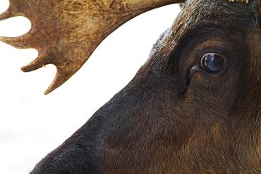 Close Up Of The Face Of A Caribou (Rangifer Tarandus), Ecomuseum Zoo, Ste-Anne-De-Bellevue, Quebec, Canada
