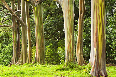 Eucalyptus Tree Grove On The Northeast Side Of Maui, Maui, Hawaii, United States Of America
