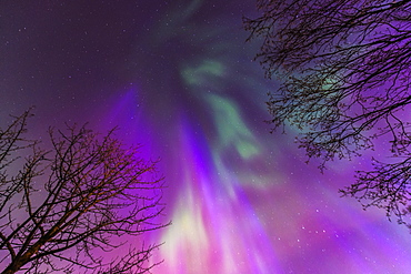 Green, Purple, And Pink Northern Lights Overhead, Anchorage, Southcentral Alaska