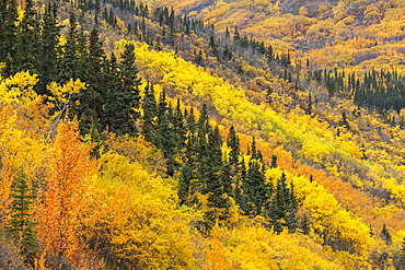 Colorful Autumn Foliage And Trees Along The Alaska Highway, Yukon Territory, Canada
