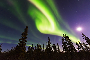 Aurora Borealis Over Spruce Trees With A Full Moon In The Northwest Arctic Of Alaska.