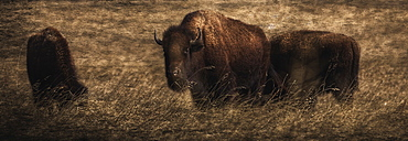 Bison (Bison Bison Athabascae) Grazing, Elk Island National Park, Alberta, Canada