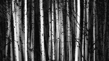 Forest Of Birch Trees, Alberta, Canada