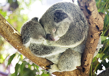 Mother And Baby Koala Bears (Phascolarctos Cinereus) Cuddled Up In A Tree, Noosa, Queensland, Australia