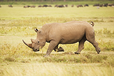 A Rhinoceros Is Charging From Right To Left Over The Savannah With Its Head Down, Surrounded By A Grassy Plain, Herd Of Wildebeest In The Background, Nyabushozi, Western Region, Uganda