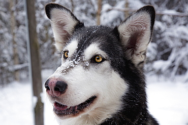 Portrait Of A Dog With Snow On It's Fur, Alaska, United States Of America