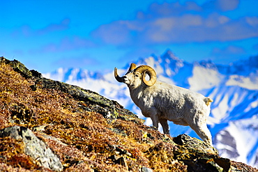 A Full Curl Dall Sheep Ram Standing On Mount Margaret With Fang Mountain In The Background, Denali National Park And Preserve, Interior Alaska, Spring