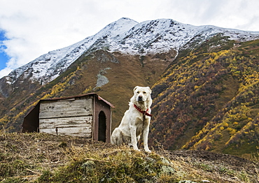 Georgian Shepherd Dog By His Dog House, Ushguli, Samegrelo-Zemo Svaneti, Georgia