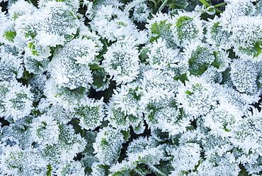 A Macro Photo Of Ice Crystals On A Ground Cover Plant, Western Washington, Washington, United States Of America
