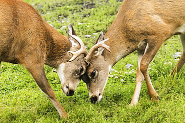 Sitka Black-Tailed Deer (Odocoileus Hemionus Sitkensis), Captive At The Alaska Wildlife Conservation Center, Portage, Alaska, United States Of America