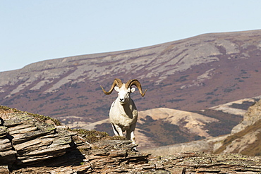 Dall Ram (Ovis Dalli) In Denali National Park And Preserve, Alaska, United States Of America