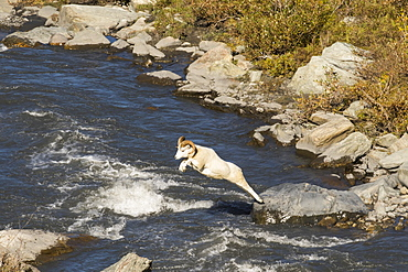 Dall Ram (Ovis Dalli) Makes A Long Jump Across The Savage River In Late Summer, Denali National Park And Preserve, Alaska, United States Of America