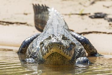 Yacare Caiman (Caiman Yacare) On Muddy Shore Facing Camera, Mato Grosso Do Sul, Brazil