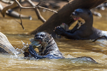 Giant River Otters (Pteronura Brasiliensis) Chewing Fish In River, Mato Grosso Do Sul, Brazil
