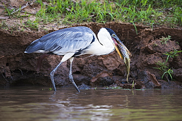 Cocoi Heron (Ardea Cocoi) Wading With Fish In Beak, Mato Grosso Do Sul, Brazil