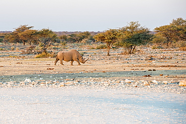 A Rhinoceros Is Crossing Savanna Woodlands Of Etosha National Park During Sunset, Namibia
