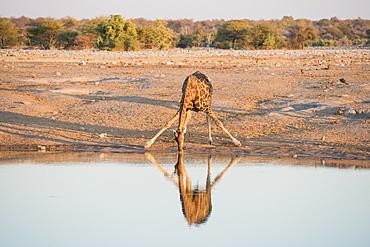 A Namibian Giraffe (Giraffa Giraffa Angolensis) Is Drinking Water In A Funny Manner During Sunset In Etosha National Park, Namibia