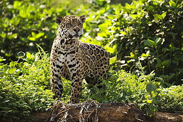 Jaguar (Panthera Onca) Stretching Neck On Leafy River Bank, Mato Grosso Do Sol, Brazil