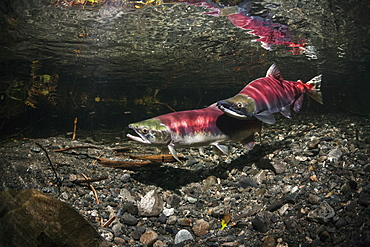 Underwater View Of A Sockeye Salmon (Oncorhynchus Nerka) Spawning Pair And A Challenger Male In Power Creek Near Cordova, Alaska In The Summer, Alaska, United States Of America
