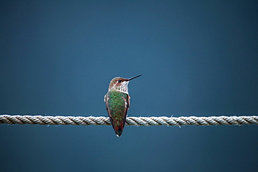 Rufous Hummingbird (Selasphorus Rufus) Perched On A Rope, Pelican, Alaska, United States Of America