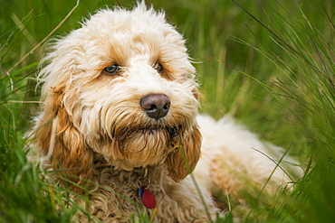 A Blond Cockapoo Lays In The Tall Grass, South Shields, Tyne And Wear, England