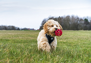 A Dog Walks In A Grass Field With A Toy Ball In It's Mouth, South Shields, Tyne And Wear, England