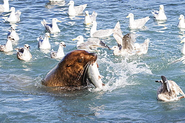 A Sea Lion Swims Into The Fish Weir Area And Grabs A Pink Salmon (Oncorhynchus Gorbuscha), Allison Point, Outside Valdez, Alaska, United States Of America