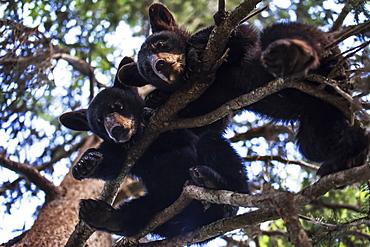 Black Bear (Ursus Americanus) Cubs Resting On The Tree Branches, South-Central Alaska, Alaska, United States Of America