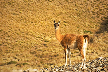 Guanaco (Lama Guanicoe) In The Dry Andes Of Argentina, Mendoza, Argentina