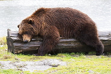 A Wet Brown Bear (Ursus Arctos) Laying On A Log At The Water's Edge, Alaska, United States Of America