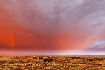 American Bison (Bison Bison) And Rainbow After The Storm At Cross Ranch Preserve, North Dakota, United States Of America