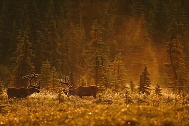 Bull Caribou (Rangifer Tarandus Caribou) Feed In A Spruce Bog Near Wonder Lake, Denali National Park And Preserve, Alaska, United States Of America