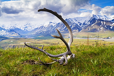 Caribou (Rangifer Tarandus Caribou) Antlers On The Grass With Snow Capped Mountains In The Background, Denali National Park And Preserve, Central Alaska, Alaska, United States Of America