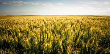 View Over A Green And Golden Wheat Field, Saskatchewan, Canada