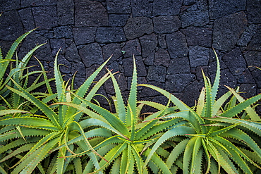 Aloe In Front Of A Basalt Rock Wall, Lagoa, Sao Miguel, Azores, Portugal