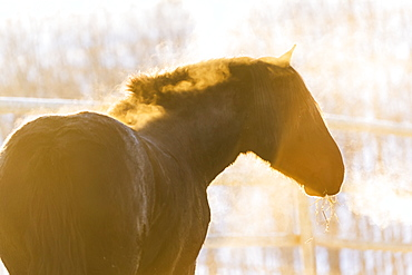 Horse With Golden Sunlight And Breath In The Cold Air, Turner Valley, Alberta, Canada