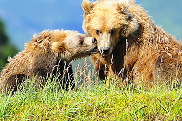 Brown Bear (Ursus Arctos) And Cub Playing, Katmai National Park, Alaska, United States Of America