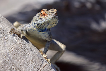 Lizard Lookng Over A Rock In The Desert, Namibia